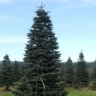 A big and tall christmas tree is perfect for your large living space or for the workplace.