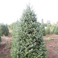 Noble Sir Christmas trees have needles that are thick and grow in rows on each side of the branch. Due to the slow growth, both needles and branches are famous for their extra strength, and ability to stay fresh longer. Noble Firs require additional care. The are available in sizes 3 to 9 feet.