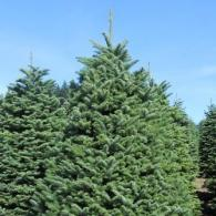 A Douglas Fir tree is fat and wide. They are the #1 seller in the U.S. and are famous for fullness and fresh forest aroma. These are available in sizes 3 to 9 feet.