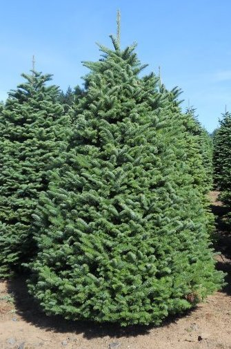[Image:  A Douglas Fir tree is fat and wide. They are the #1 seller in the U.S. and are famous for fullness and fresh forest aroma. These are available in sizes 3 to 9 feet.]